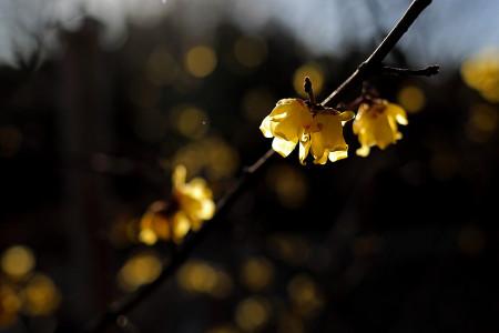 岩本山公園の蝋梅