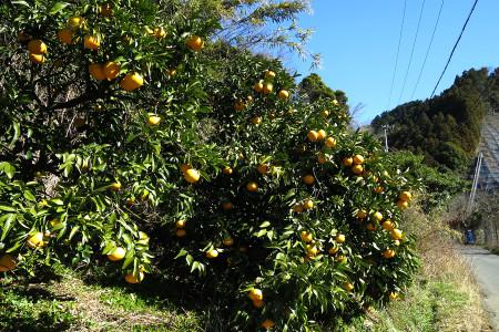 柑橘畑の道