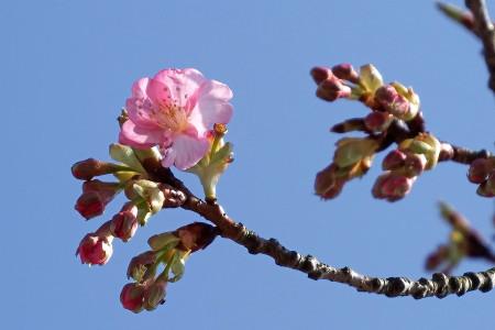 道の駅伊東マリンタウンの河津桜咲きました!