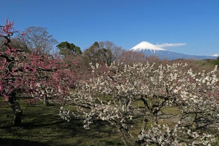 岩本山公園の梅園(2月27日撮影)