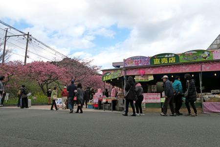 伊豆急線路沿いにも桜