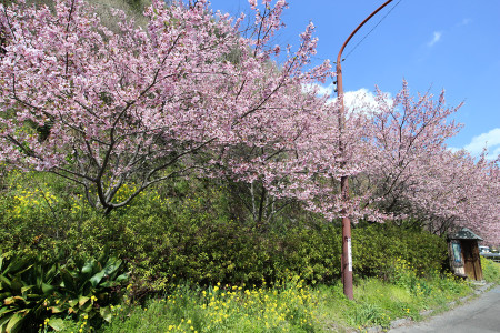 丸子の桜並木