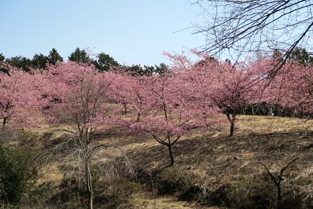 早咲きの桜?桃?