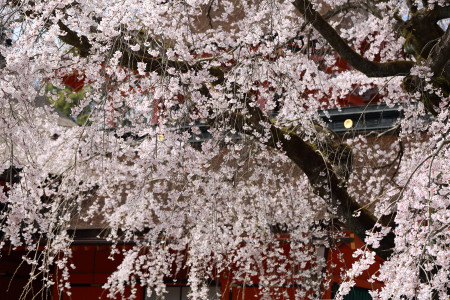 富士山本宮浅間大社の枝垂れ桜