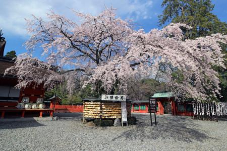 富士山本宮浅間大社と枝垂れ桜