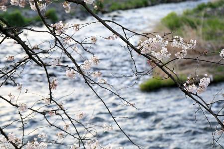 3月24日の龍厳淵の桜