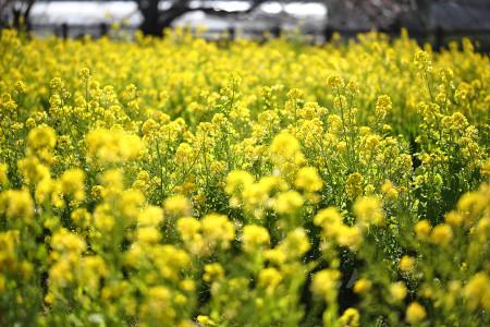 江間の菜の花畑