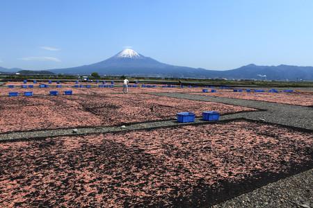 富士川河口での桜えび干し光景