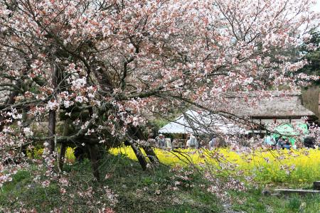 狩宿の下馬桜と会場