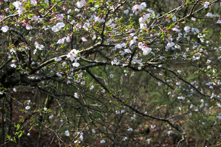 富士桜の木