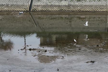 狩野川放水路の野鳥たち
