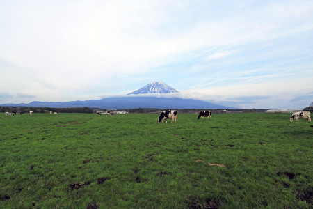 放牧された牛と青草と富士山と
