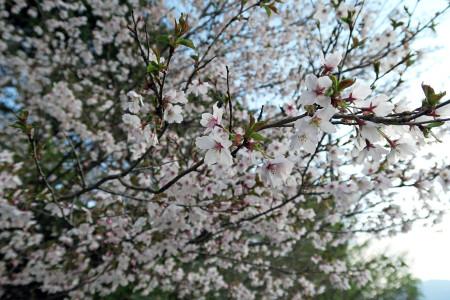 富士ヶ嶺から先はまだ春