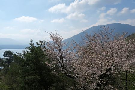富士山と桜、本栖湖