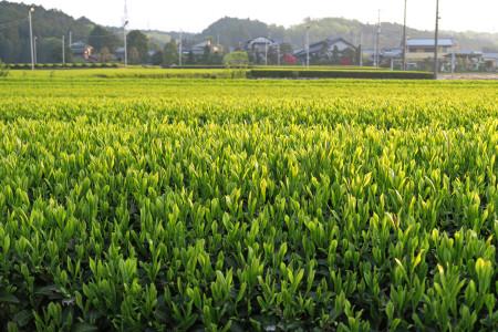 萌黄色の茶畑