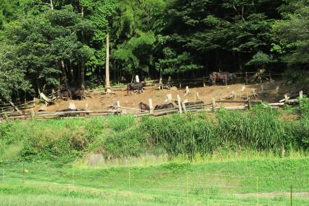 飼育される牛たち