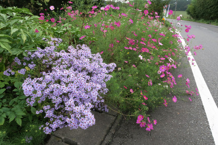 県道71号沿いの花