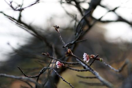 冬至に開く桜の花