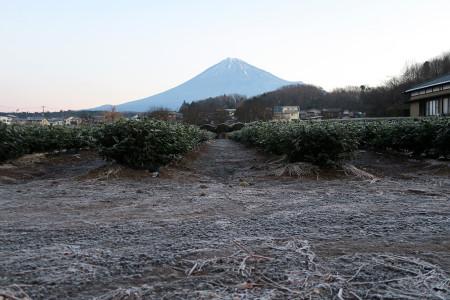 霜の降りた茶畑と富士山