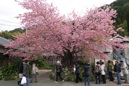 2月24日の河津桜