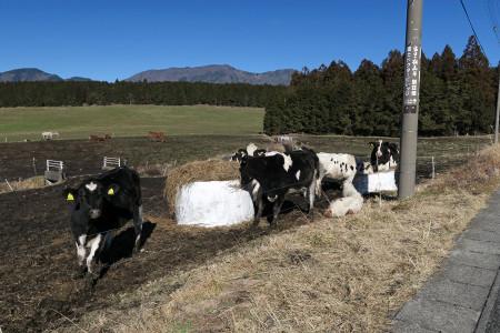 放牧の牛たち
