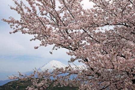 6日の桜と富士山