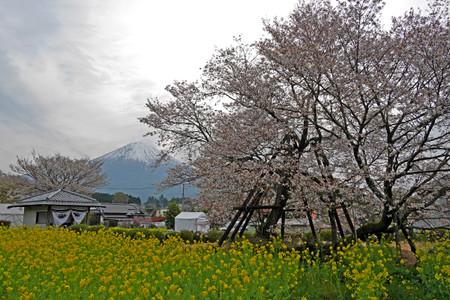駒止の桜と富士山