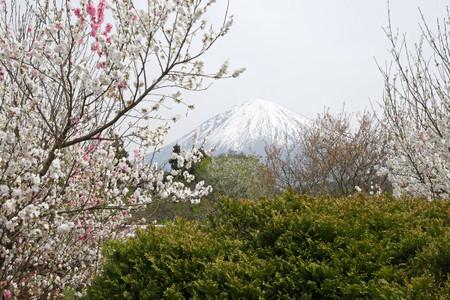 富士宮の梅桃と富士山