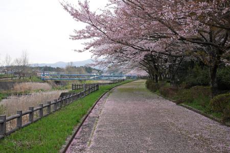 大沢川の桜