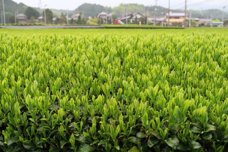 茶畑の萌黄色