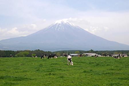 放牧地の牛たち