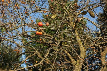 晩秋の柿の木