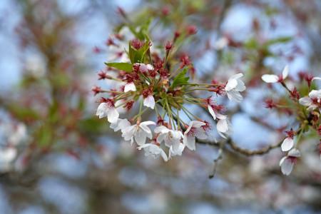 高原の桜も終わり